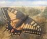 Sommerfuglene Svalestjert 120 x 100 cm