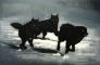 Wolves 150 x 100 cm